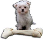 Maltese puppy tricks