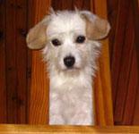 Beagle Maltese