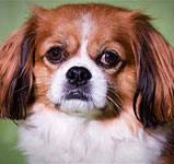 Cavalier King Charles Spaniel mix