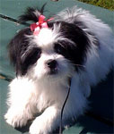 Japanese Chin Maltese mix