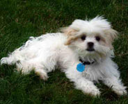 Japanese Chin mix