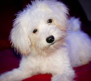 ... Poodle mixes , also called Maltipoos, are a cross between a Miniature