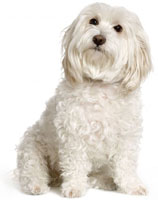 Thinking Maltese Dog