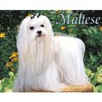 Maltese dog calendar