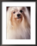 Maltese dog pictures