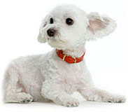 Suprised Maltese Dog