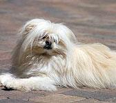 Maltese Pomeranian
