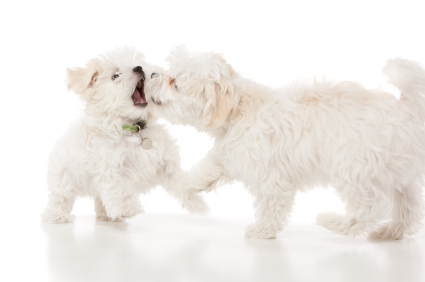 Maltese puppies play