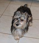 Maltese Silky Terrier dogs