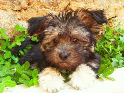 Maltese Yorkie Mix