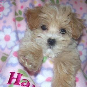 Maltipoo