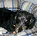 ... Maltese Dachshund mix, also called a Mauxie or Moxie dog, is a cross