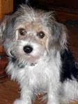 Beagle Mix Dogs