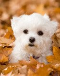 Maltese Puppies Pictures