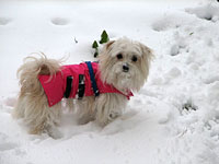 Maltese in the Snow