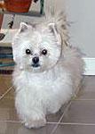 Maltese Westie Dogs