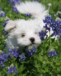 Pictures of Maltese Puppies
