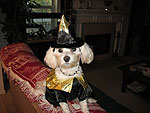 Maltipoo in a small dog halloween costume