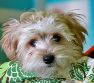 Black and Tan Maltese Yorkie mix