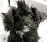 Black Morkie puppy