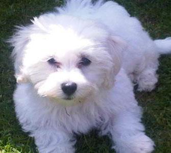 Fuzzy white Maltichon puppy