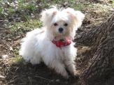 Maltese Chihuahua Gus