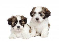 Maltese mix puppy