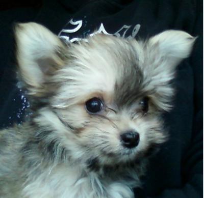 Maltese Chihuahua Puppy - Little Bear
