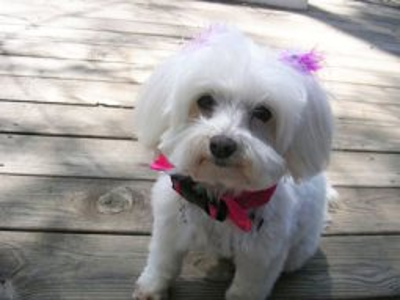 Maltese dog bow