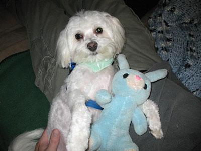 Maltese dog with stuffed animal