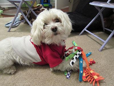 Maltese dog toy