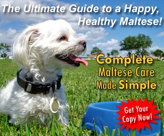 Learn how to train your Maltese