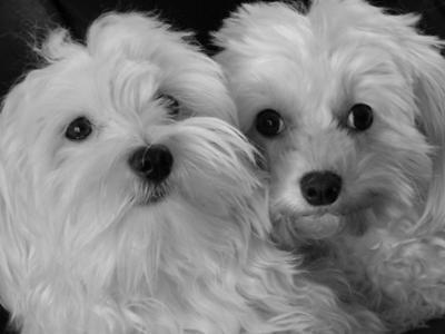 Maltese dog siblings