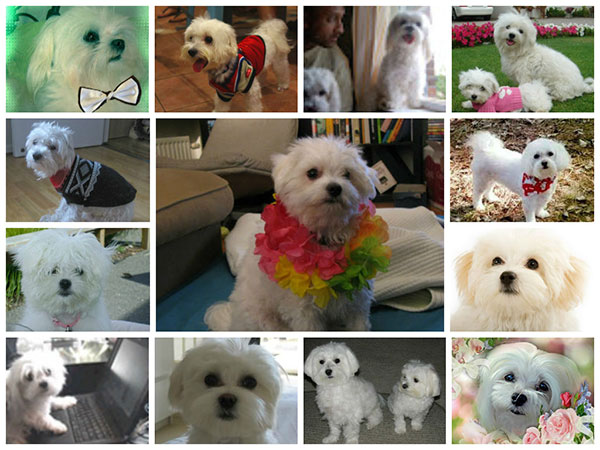 Maltese dog blogs