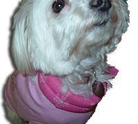 Maltese dog closeup