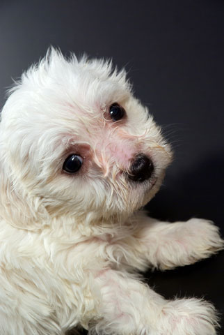 Adopt a Maltese puppy