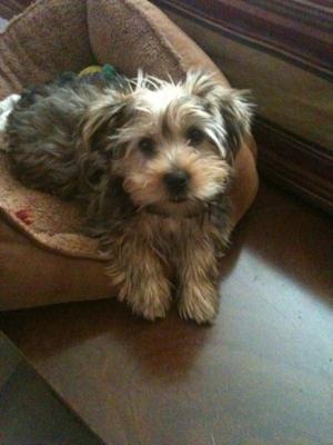 Morkie Dog - Tucker