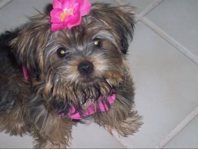 Morkie puppy - Maddie-Lynn