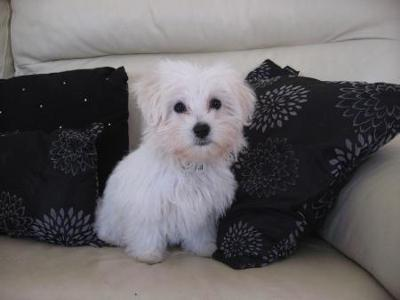 Maltese Dog Rescue Victoria