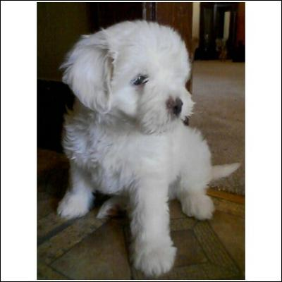 Maltese Puppies on Bichon Maltese Puppies   Stormi