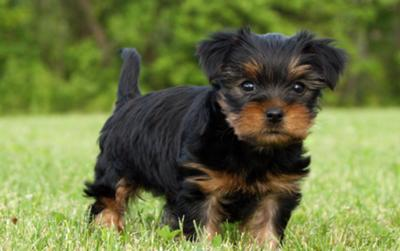 Morkie Puppies on Black And Tan Morkie Puppy   Sadie
