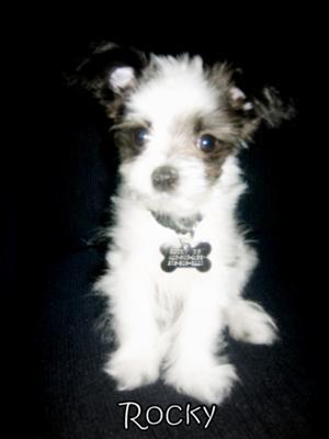 White Pomeranian Puppy Pictures. Pomeranian Puppy - Rocky