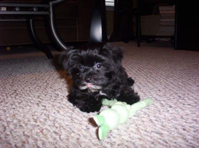 Our Lucky Dog the Black Morkie Puppy