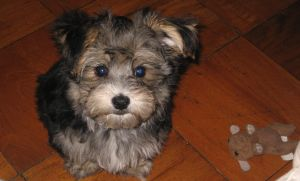 Sweetest of all Morkie puppies