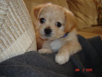 Maltese Chihuahua Puppy