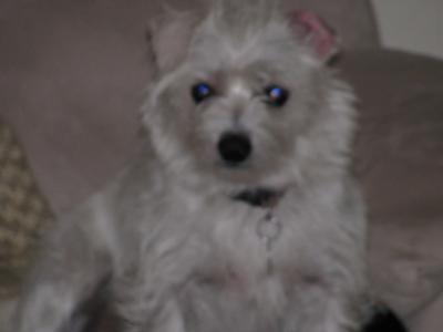 Chihuahua Maltese Terrier Mix