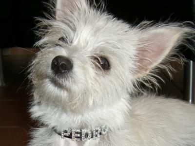 Chihuahua Maltese Terrier Mix | www.pixshark.com - Images ...