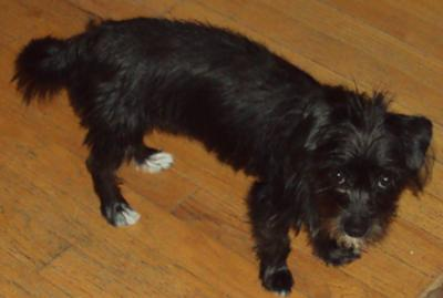 Black Maltese Mix Images & Pictures - Becuo