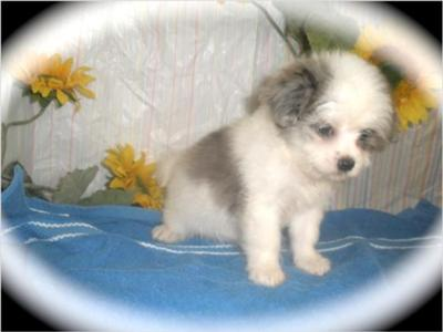 long haired chihuahua puppies for sale in missouri. white long haired chihuahua