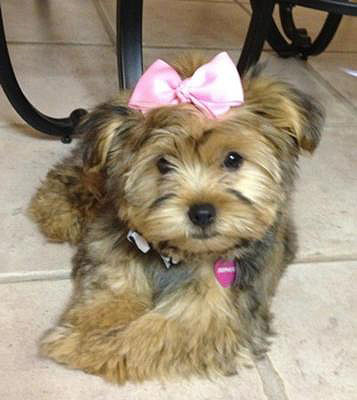 Female Morkie puppy - Sophie